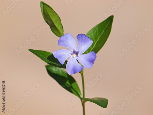 Fotografia Blue flower of periwinkle or vinca