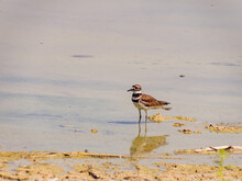 Close Up Of A Cute Plover
