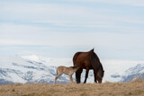 Young foal drinking mothers milk, icelandic horses, iceland, copy space