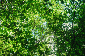 Horizontal photo of upward view of a lush forest with green trees in summer