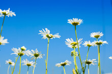 Wild Wildflowers Camomile Agai...