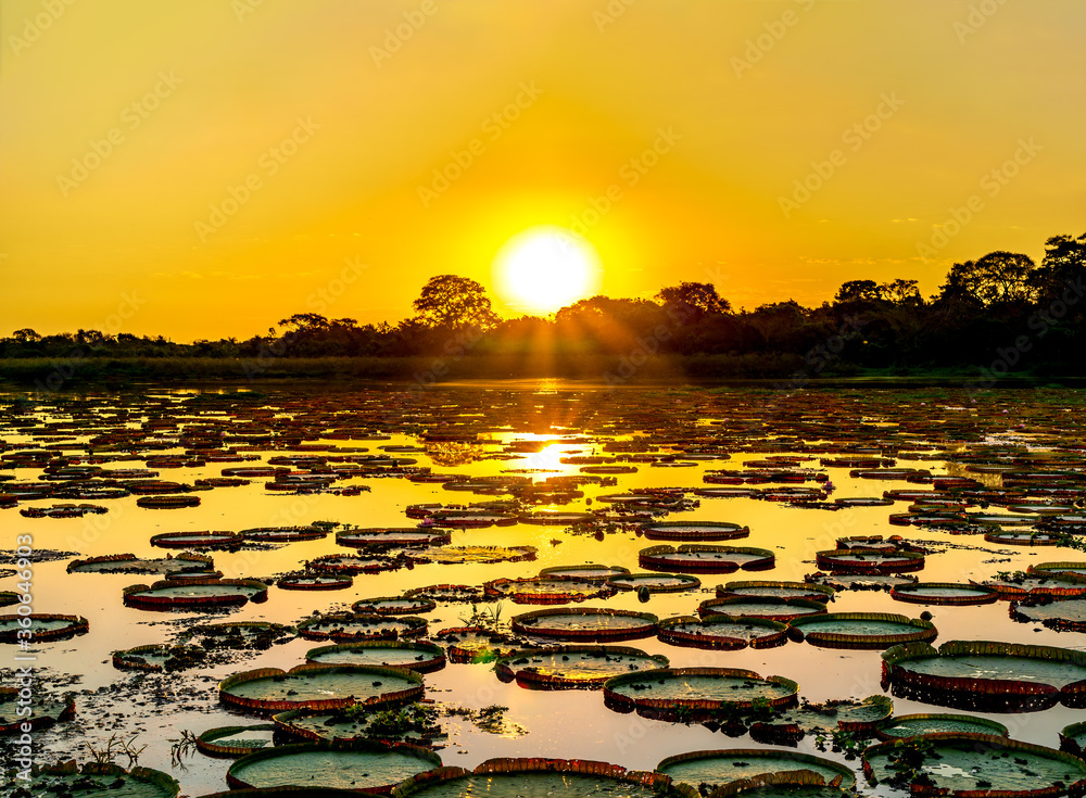 Fototapeta Sunset in pantanal wetlands with pond and victoria regia plant