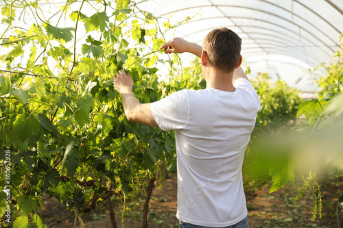 Man working with grape plants in greenhouse Tableau sur Toile
