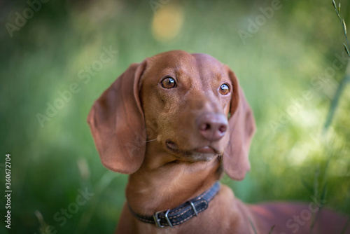 Fototapeta Portrait of a dachshund in a summer forest.