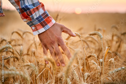 Fototapeta Farmer touching ripe wheat ears with hand walking in a cereal golden field on sunset. Agronomist in flannel shirt examining crop before harvesting on sunrise in the dusk. Organic farming concept. obraz