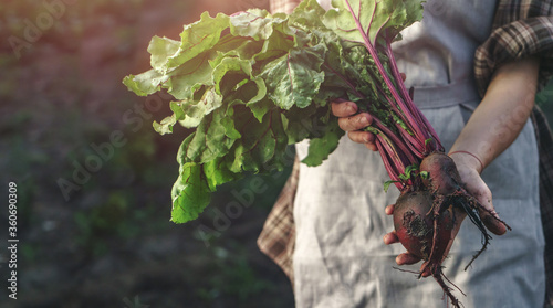 Fototapeta Farmers holding fresh beetroot in hands on farm at sunset. Woman hands holding freshly bunch harvest. Healthy organic food, vegetables, agriculture, close up obraz