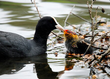 Nesting Coots With Chicks On The Lake