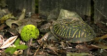 Ornate Box Turtle Tries To Eat...