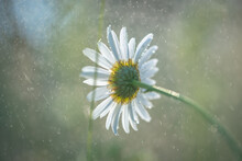 White Field Daisies With Raind...