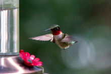 Close-up Of Ruby-throated Hummingbird Hovering By Feeder With Wings Forward And Bokeh Of Green And White