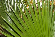 Large Green Latan Fan Palm Lea...
