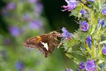 Silver-spotted Skipper Butterfly Feeding On Wildflowers - Epargyreus Clarus