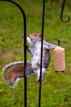 Cute Grey Squirrel At Feeder
