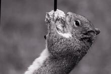 Grey Squirrel Hangs On Bird Fe...