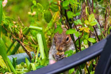 Grey Squirrel Eating In Planter
