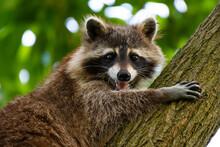 A Smiling Raccoon Climbing A T...