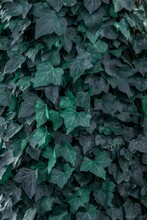 Vertical Closeup Shot Of Ivy Leaves Background