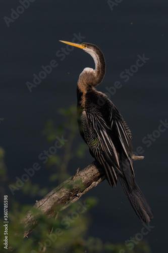 Valokuvatapetti An oriental darter also called Indian darter siting in a tree branch at Bharatpu