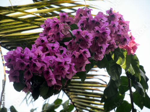 Photo purple bougainvillaea