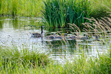 Canada Goose With Newly Hatched Chicks, Swimming In The Water, Four Soft Chicks Behind Yellow Grass