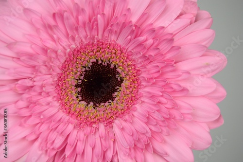 Closeup of a pink Transvaal daisy under the lights isolated on a grey background Wallpaper Mural