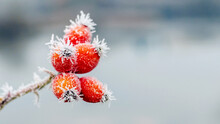 Frost-covered Red Rose Hips On...