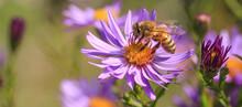 Blühende Herbstaster Mit Biene