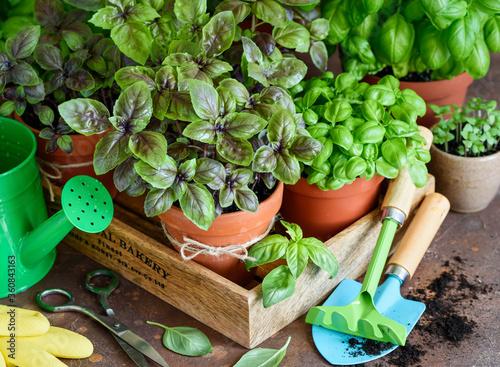 Billede på lærred Fresh  grown home basil  in pots