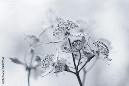 Fototapeta Białe kwiaty - Jarzmianka obraz