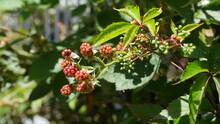 Close Up Of Ripening Blackberries