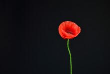 Red Poppy  Flower Against Blac...