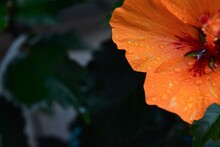 Hibiscus After Rain