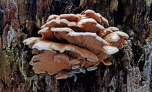 Bracket Fungi Growing On The Tree In The Forest