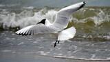 Fototapeta Fototapety do łazienki - seagull, mewa, morze Bałtyk, woda