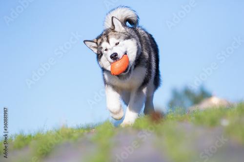Canvastavla alaskan malamute dog runs after the ball