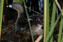 Young Pied-billed Grebe All Tucked In