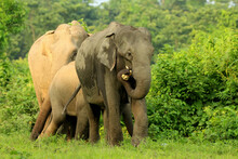 Indian (Asian) Elephant Grazin...