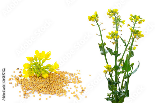 Tablou Canvas Set of rapeseed plants with yellow flowers and seeds