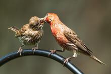 House Finch Feeding Baby