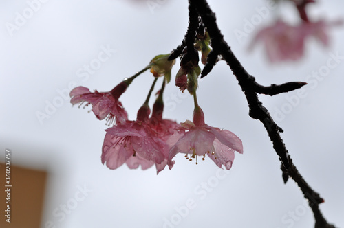 Photo I admired this cherry blossom after the rain and found it very romantic, its natural beauty wetted by raindrops gave it a characteristic of arousing emotions