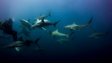 Diver Surrounded By A Large Gr...