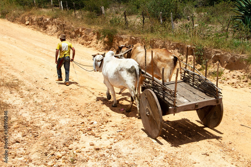 Man from the hinterland of Bahia, Brazil, pulling an ox cart Canvas Print