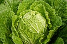 Korean Lettuce