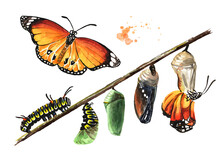 Butterfly Metamorphosis Development Stages, Caterpillar Larva, Pupa, Adult Insect. Hand Drawn Watercolor Illustration, Isolated On White Background