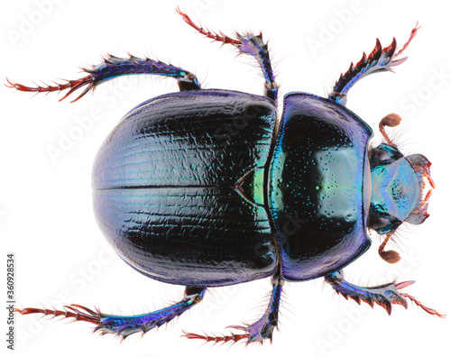 Fotografia, Obraz Anoplotrupes stercorosus dor beetle, is a species of earth-boring dung beetle belonging to the family Geotrupidae