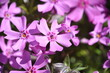 Leinwandbild Motiv Macro photo close up view to field lilac purple flowers Phlox subulata