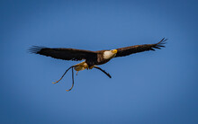American Eagle Bringing Nesting Material To Nest In Florida