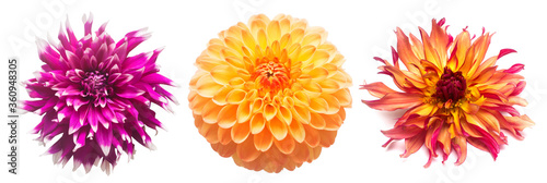 Fotomural Collection flowers dahlias isolated on white background