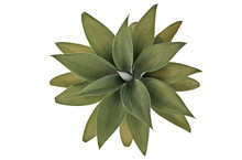 Rosette Of Green Leaves Of Fox Tail Agave. Succulent Plant Macro