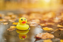 Autumn Duck Toy In Puddle With...